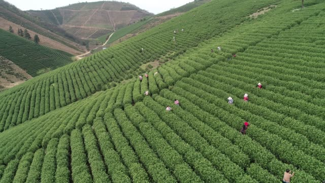 aerial view of a tea garden on march 25, 2020 in xuancheng, anhui province of china. - landscape scenery stock videos & royalty-free footage