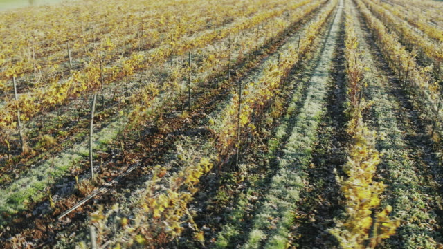 aerial view of a vineyard on an early autumn morning - frost stock videos & royalty-free footage