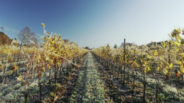 aerial view of a vineyard on an early autumn morning - non us film location stock videos & royalty-free footage