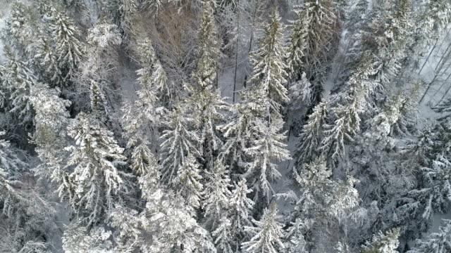 Flygfoto över en vinter skog med frostiga träd