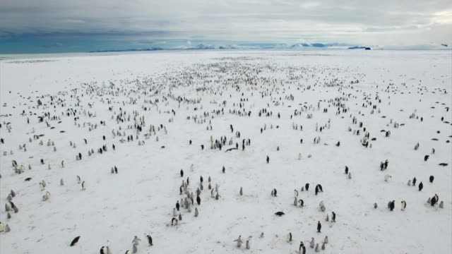 vídeos de stock, filmes e b-roll de aerial view of adelie penguins in antarctica - antártica