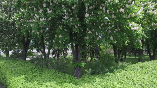 aerial view of alley blooming chestnuts on memorial complex - キエフ市点の映像素材/bロール