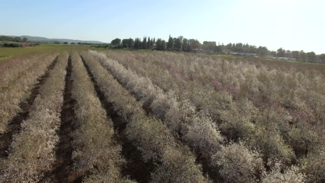 aerial view of almond grove in full bloom - grove stock videos & royalty-free footage