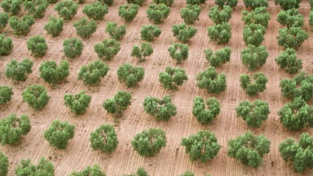 オリーブの木のフィールドの空中ビュー - オリーブ点の映像素材/bロール