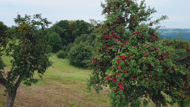 stockvideo's en b-roll-footage met aerial view of apple trees, saargau, rhineland-palatinate, germany, europe - boomgaard