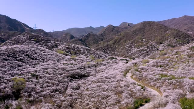 aerial view of apricot blossoms at badaling great wall on april 14, 2021 in beijing, china. - badaling great wall stock videos & royalty-free footage