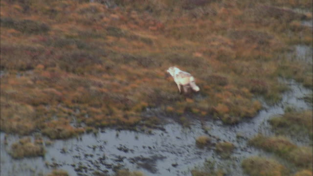 Aerial View of Arctic Wolf running alone on grassland