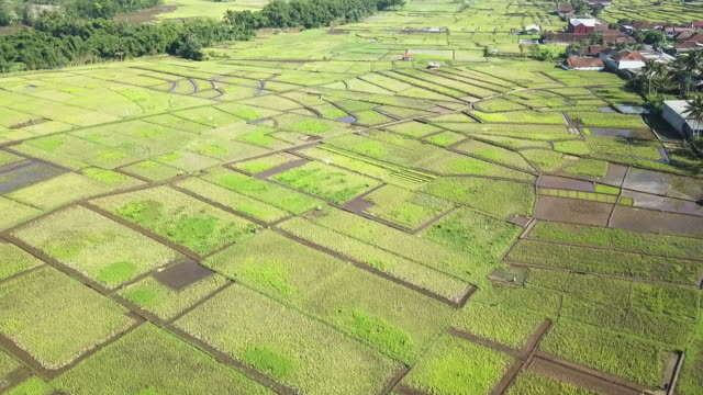 aerial view of asian paddy field - tropischer baum stock-videos und b-roll-filmmaterial