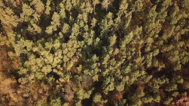 aerial view of autumn forest. drone footage - coniferous stock videos & royalty-free footage