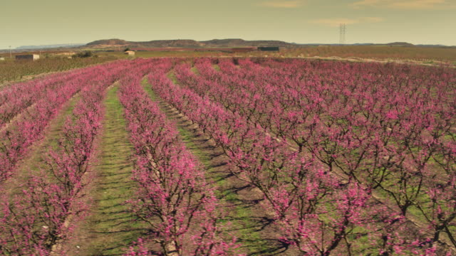 aerial view of beautiful blossom fruit trees in springtime at sunset - fruit tree stock videos & royalty-free footage
