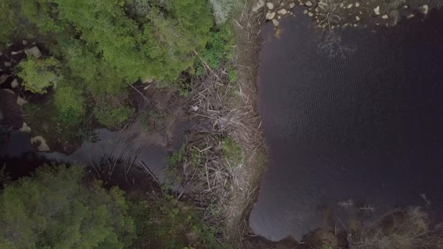 Aerial View of Beaver Dam in Boreal Nature Forest and River in Summer