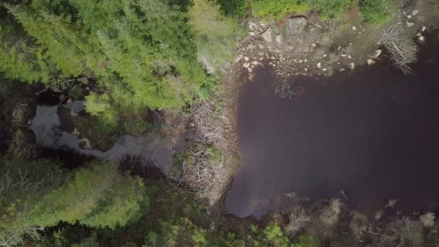 aerial view of beaver dam in boreal nature forest and river in summer - beaver dam stock videos and b-roll footage