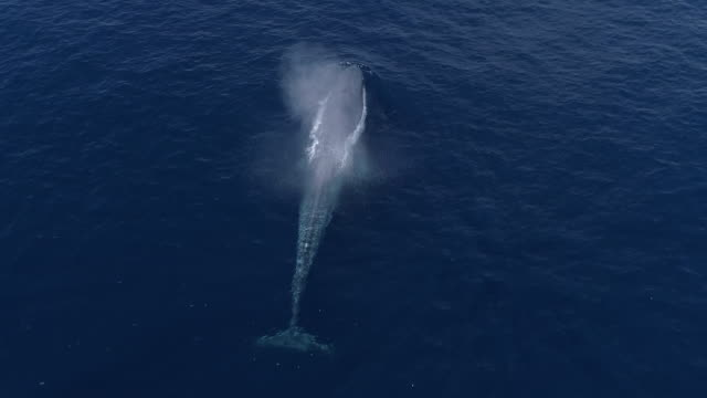 aerial view of blue whale diving in calm, blue ocean - protection stock videos & royalty-free footage