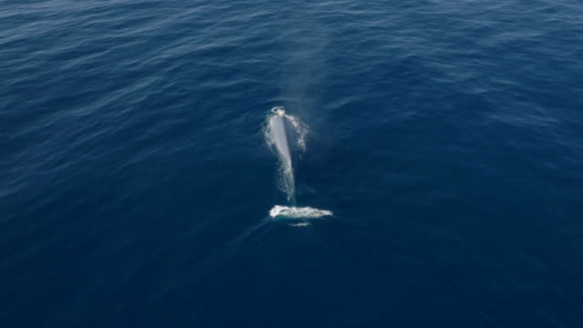 Aerial view of blue whale diving in calm, blue ocean