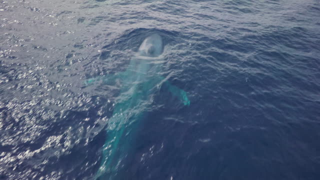 stockvideo's en b-roll-footage met aerial view of blue whale surface, massive blow and dive again, close shot - zichtbare adem