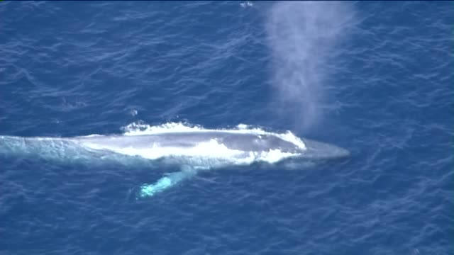 aerial view of blue whale tangled in a fishing line at san pedro's point fermin. - 縛られる点の映像素材/bロール