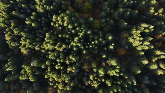 aerial view of boreal nature forest and mountain in autumn at sunrise - boreal forest stock videos & royalty-free footage