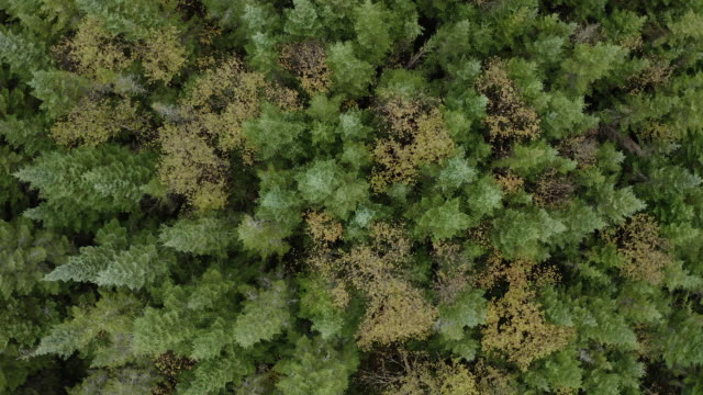 aerial view of boreal nature forest in autumn - pine stock videos & royalty-free footage