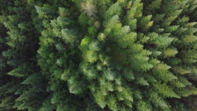 vídeos de stock e filmes b-roll de aerial view of boreal nature forest in summer - coniferous