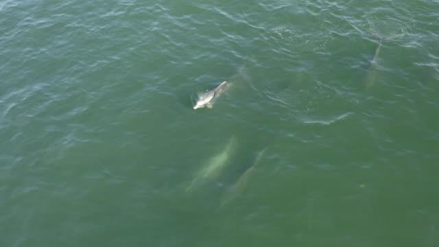 vídeos de stock, filmes e b-roll de 4k aerial view of bottlenose dolphins swimming - espiráculo