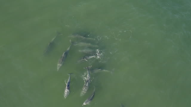 stockvideo's en b-roll-footage met 4k aerial view of bottlenose dolphins swimming - spuitgat