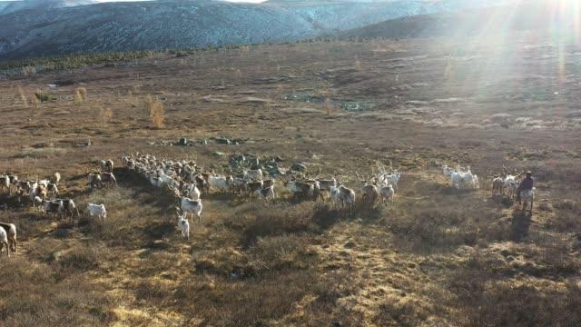 aerial view of boy on reindeer sherpherding herd in mongolia - herd stock videos & royalty-free footage