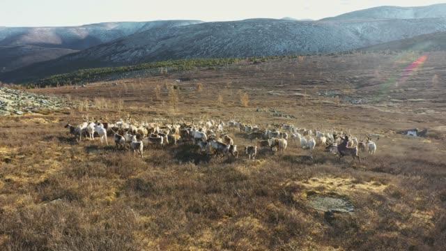 モンゴルの群れを襲うトナカイの少年の空中写真 - 遊牧民族点の映像素材/bロール
