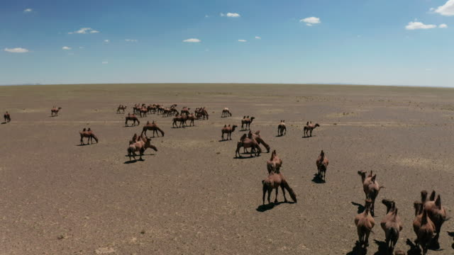 aerial view of camels herd in the gobi desert - independent mongolia stock videos & royalty-free footage