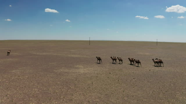 aerial view of camels herd in the gobi desert - steppe stock videos & royalty-free footage
