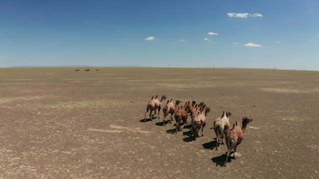 aerial view of camels herd in the gobi desert - china east asia stock videos & royalty-free footage