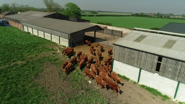 aerial view of cattle being released from a cow pen on a farm - 1 minute or greater stock videos & royalty-free footage