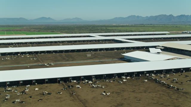 aerial view of cattle feedlot surrounded by irrigated fields in arizona desert - cattle stock videos & royalty-free footage