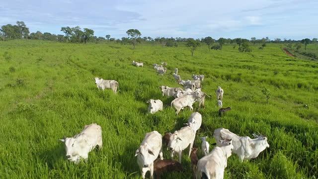 flygfoto över boskapsbete, mato grosso, brasilien - beta djurbeteende bildbanksvideor och videomaterial från bakom kulisserna