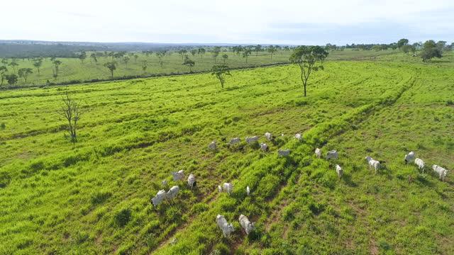 vídeos de stock, filmes e b-roll de vista aérea da pastagem de gado, mato grosso, brasil - manada