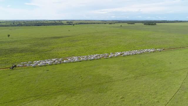 vídeos de stock, filmes e b-roll de vista aérea da pastagem de gado, mato grosso, brasil - animal de fazenda