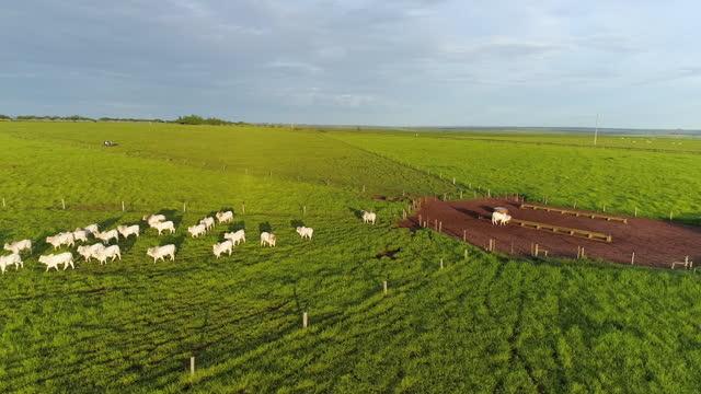stockvideo's en b-roll-footage met lucht mening van vee het weiden, mato grosso, brazilië - livestock