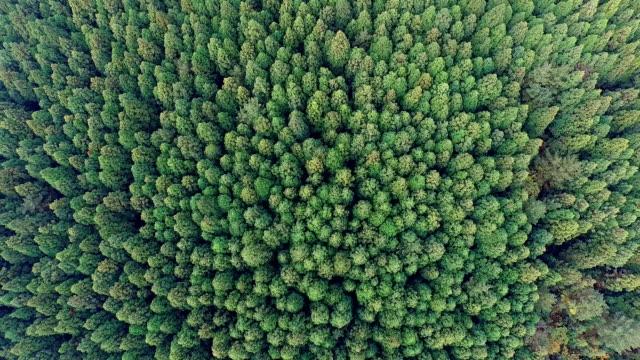 aerial view of cedar trees near bijarim-ro street in jeju-do island - cedar stock videos & royalty-free footage