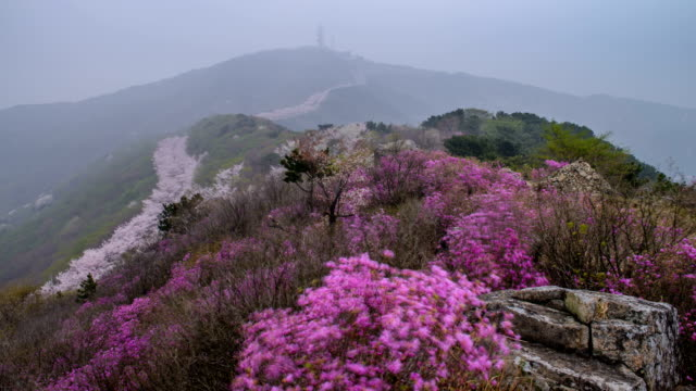 aerial view of cherry blossoms and azalea on hwangnyeongsan mountain - heather stock videos & royalty-free footage