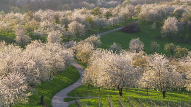 vidéos et rushes de aerial view of cherry tree orchards at blossom with country road, springtime. - verger