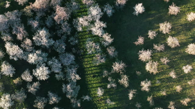 aerial view of cherry tree orchards blossoming in spring - orchard stock videos & royalty-free footage