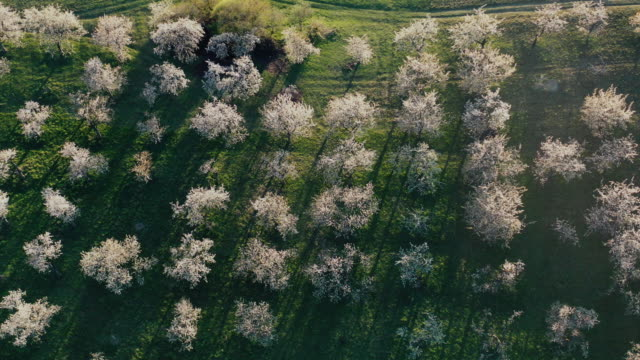 vidéos et rushes de vue aérienne des vergers de cerisiers fleurissant au printemps - verger