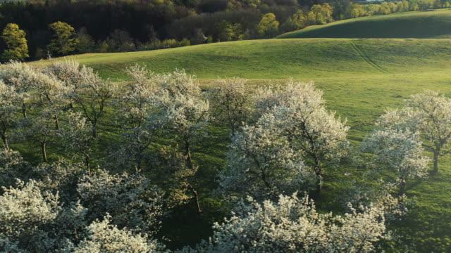 luftaufnahme von kirschbaumplantagen, die im frühjahr blühen - obstgarten stock-videos und b-roll-filmmaterial