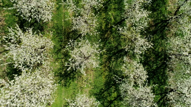 aerial view of cherry trees growing in rows. springtime in orchard - apple orchard stock videos & royalty-free footage