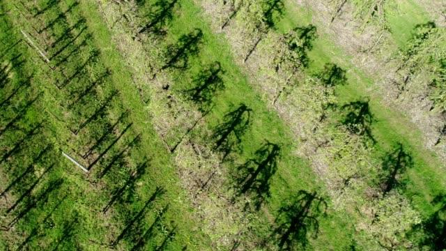 vidéos et rushes de vue aérienne des cerisiers poussant en rangs. printemps dans le verger - verger