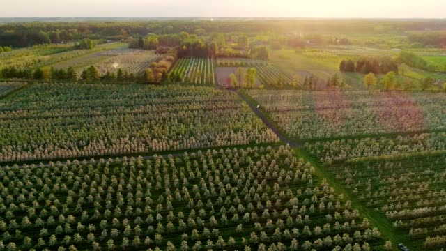 vídeos de stock e filmes b-roll de aerial view of cherry trees growing in rows. sunset in orchard - pomar