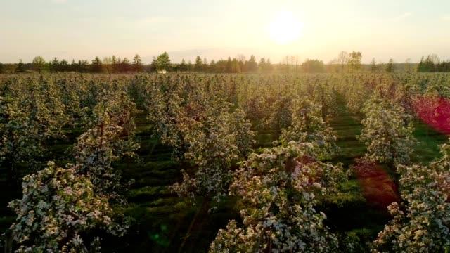 luftaufnahme von kirschbäumen, die in reihen wachsen. sonnenuntergang im obstgarten - obstgarten stock-videos und b-roll-filmmaterial