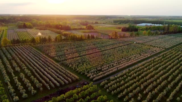 aerial view of cherry trees growing in rows. sunset in orchard - orchard stock videos and b-roll footage