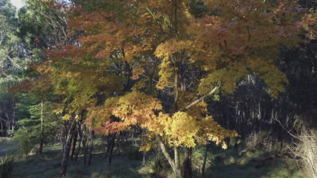 Aerial view of colourful trees in autumn at the forest, Victoria, Australia