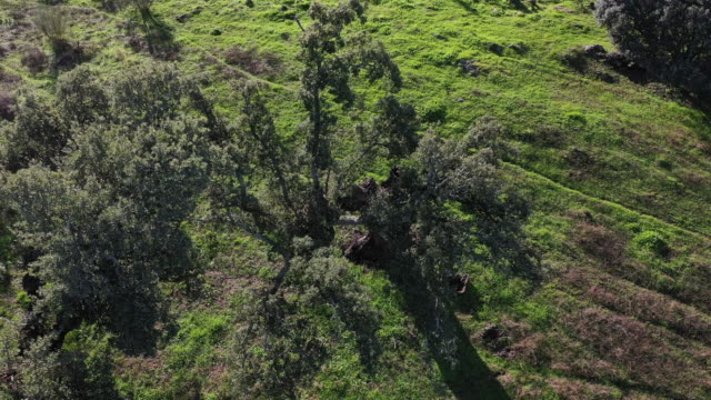 aerial view of cork oaks, meadow, mediterranean forest, sierra de san pedro, cáceres, extremadura, spain, europe - oak tree stock videos and b-roll footage