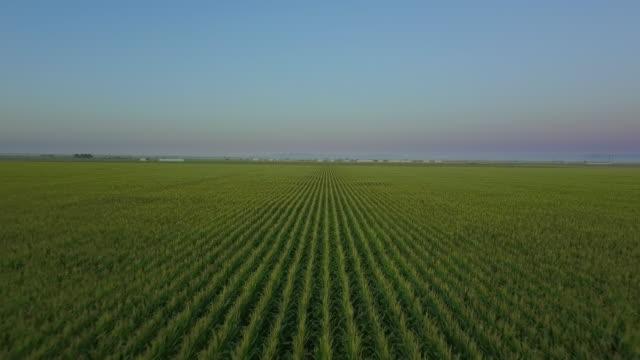 vídeos y material grabado en eventos de stock de aerial view of cornfield at sunrise - campo tierra cultivada